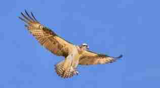 Osprey Attack
